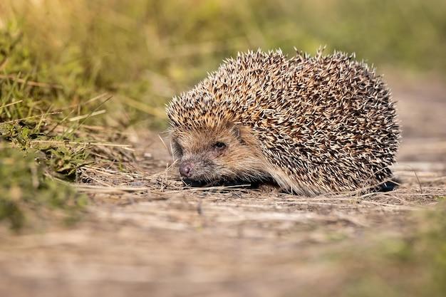 Hedgehog (scientific name: erinaceus europaeus) close up of a wild, native, european hedgehog, facing right in natural garden habitat on green grass lawn