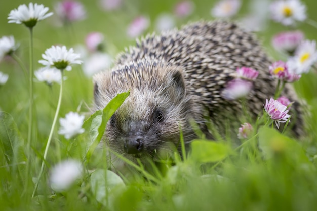 Hedgehog sitting in grass surrounded by flowers