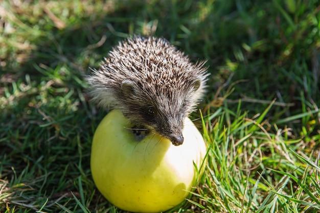 Ежик сидит на яблоке и ест фрукты