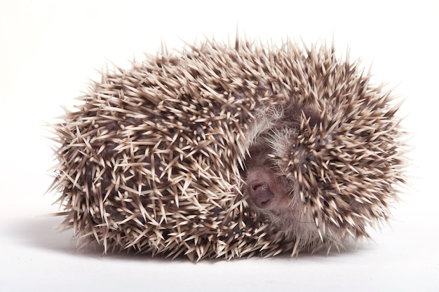 Hedgehog sleeping isolate on white