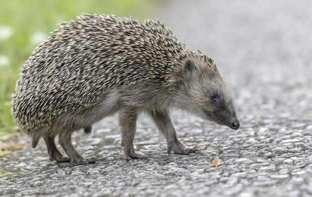 Hedgehog walking on concrete road