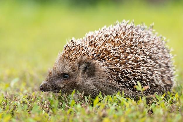 Hedgehog walking on a field