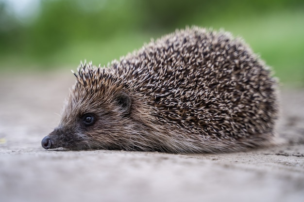 Hedgehog, wild, native, european hedgehog on road or highway with autumn leaves in the background.