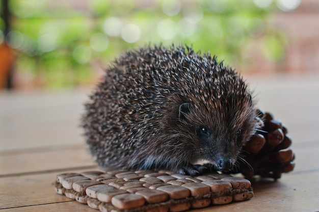 Hedgehog on the wooden table with cons