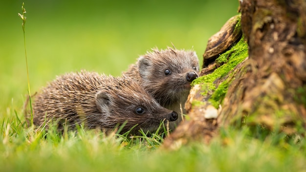 Hedgehogs on a field with green grass