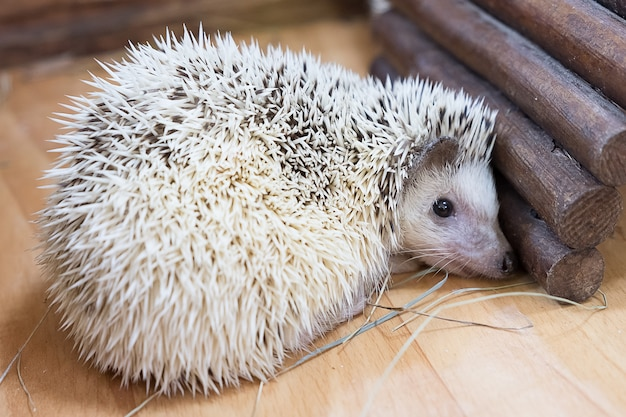 Hedgehogs sleep in houses at the zoo