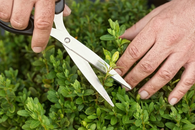 Hedges trimming with hand scissors