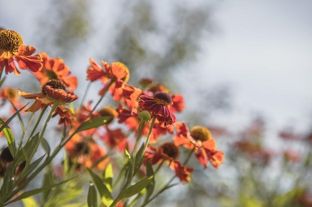 ヘレニウムkonigstiger。美しい鮮やかな花。多年生植物。