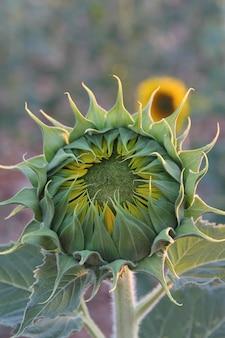 Helianthus annuus, 일반적으로 해바라기, calom, jquima, 금잔화, mirasol, tlapololote, 타일 옥수수, acahual 또는 방패 꽃이라고합니다.