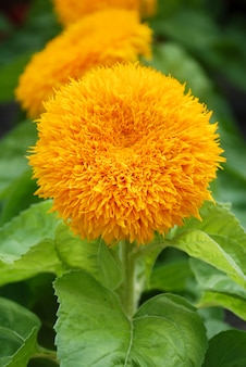 Helianthus annuus, small and potted sunflowers. dwarf helianthus