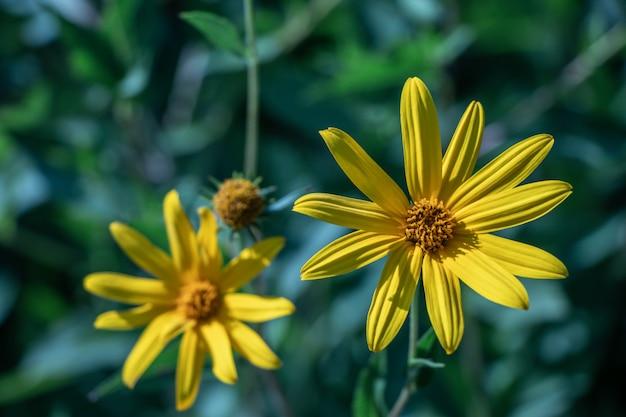 Селективный фокус цветок топинамбура. (helianthus tuberosus) также называется sunroot, sunchoke или земляное яблоко.