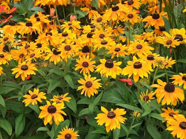Цветы heliantus в саду в бретани