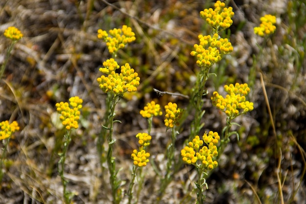 Helichrysum arenarium on meadow
