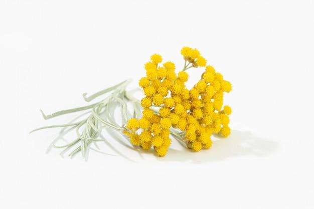 Helichrysum italicum 흰색 배경에 고립 꽃에서 꽃과 식물. 카레 공장