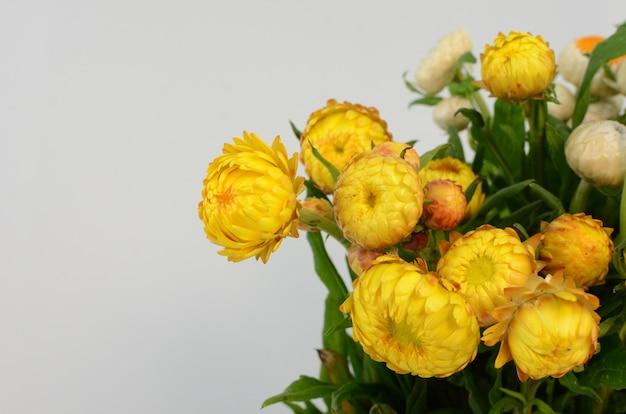 Helichrysum straw flower bloomingon white background