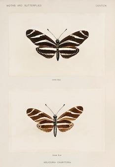 ゼブラロングウィング(heliconia charitonia)の蛾とアメリカの蝶