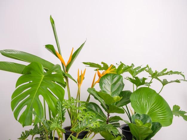 헬리코니아 꽃과 집 식물 녹색 잎은 몬스테라, 필로덴드론 자나두, 자미오쿨카스 자미폴리아, 뱀 식물, 냄비 안의 바이올린 무화과, 유명한 실내 나무로 자연 공기를 정화합니다.