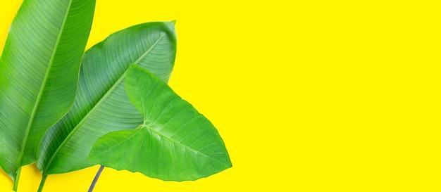 ヘリコニアの葉は黄色い表面にサトイモの葉が付いています