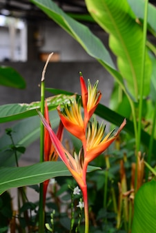 Heliconia orang-green torch flower withgreen leaves background