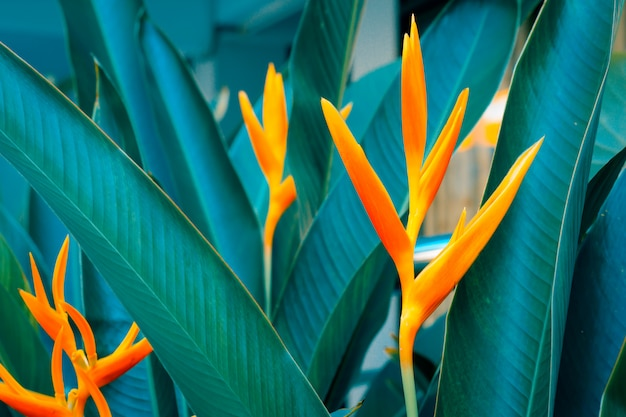 Heliconia psittacorum or golden torch flowers with green leaves.