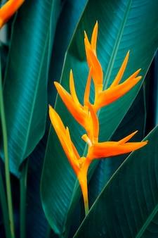 緑の葉を持つheliconia psittacorumまたはゴールデントーチの花。