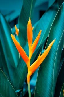 Heliconia psittacorum или цветы золотого факела с зелеными листьями.