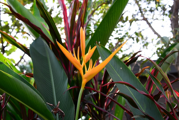Heliconia yellow torch flower with blurred background