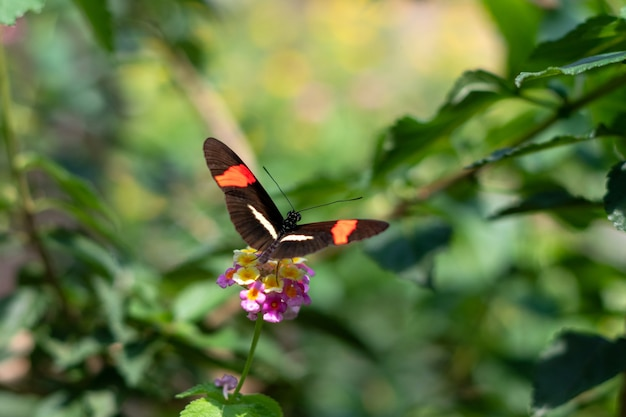 Heliconius erato 또는 heliconius 속에 속하는 붉은 우체부 주황색 검은 나비