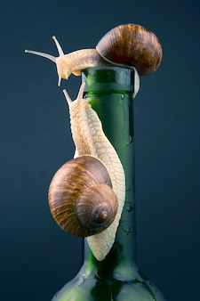 Helix pomatia. grape snail on a bottle on a dark wall. mollusc and invertebrate. gourmet protein meat food.