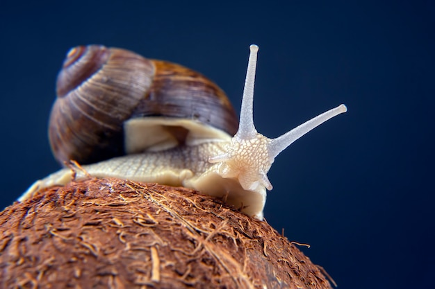 Helix pomatia. grape snail on a coconut on a dark. mollusc and invertebrate. gourmet protein meat food.