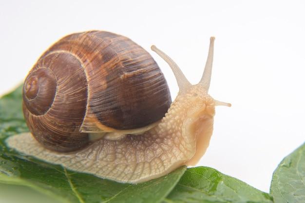 헬릭스 포마티아. 녹색 잎에 크롤 링 하는 포도 달팽이입니다. 연체동물과 무척추동물. 진미 고기와 미식가 음식.