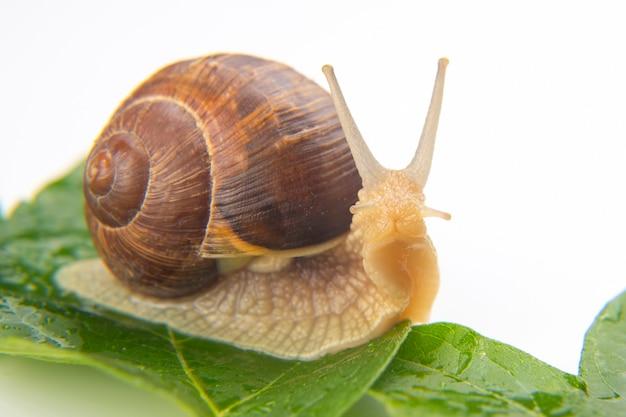 헬릭스 포 마티아. 녹색 잎에 크롤 링하는 포도 달팽이입니다. 연체 동물과 무척추 동물.