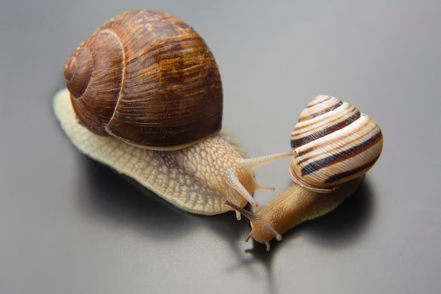 헬릭스 포마티아. 포도 달팽이. 연체동물과 무척추동물. 진미 고기와 미식가 음식