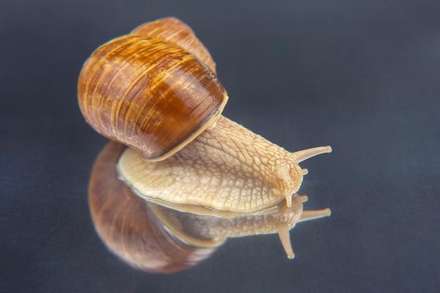 헬릭스 포 마티아. 포도 달팽이. 연체 동물과 무척추 동물