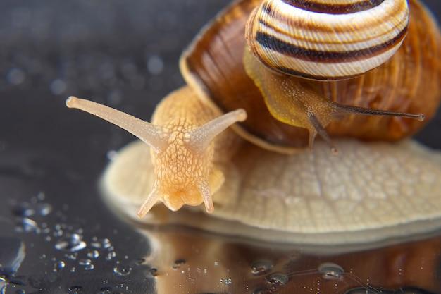 Helix pomatia. grape snail. mollusc and invertebrate. Premium Photo