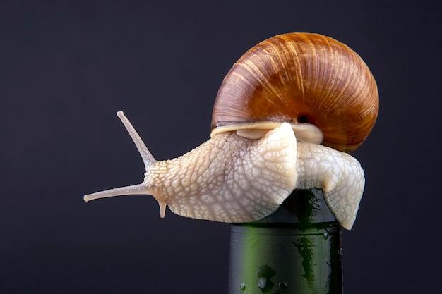 헬릭스 포 마티아. 어두운 표면에 병에 포도 달팽이