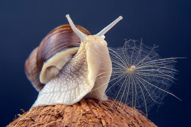 헬릭스 포마티아. 어두운 배경에 코코넛에 포도 달팽이. 연체동물과 무척추동물. 미식가 단백질 고기 음식.