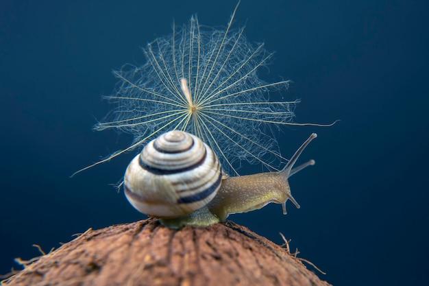 헬릭스 포 마티아. 어두운 표면에 코코넛에 포도 달팽이. 연체 동물과 무척추 동물. 미식가 단백질 고기 음식.