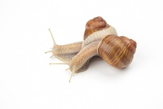 헬릭스 포 마티아. 흰색 바탕에 포도 달팽이입니다. 연체 동물과 무척추 동물. 미식가 단백질 고기 음식. 사회에서 개인의 커뮤니케이션