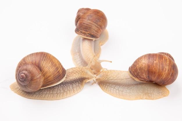 Helix pomatia. grape snail on a white. mollusc and invertebrate.