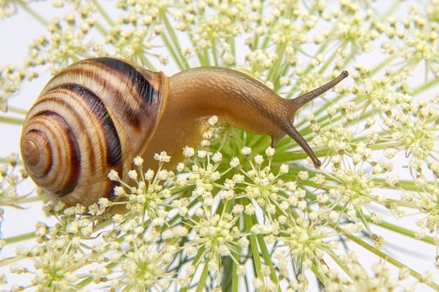 Helix pomatia. маленькая улитка ползет по цветку. моллюски и беспозвоночные. деликатесное мясо и деликатесы.