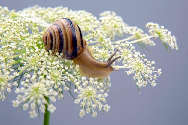 헬릭스 포 마티아. 작은 달팽이 꽃에 크롤 링. 연체 동물과 무척추 동물