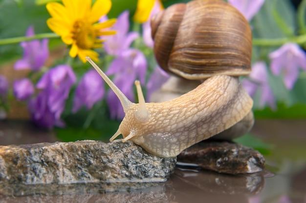 헬릭스 포 마티아. 달팽이는 돌에서 돌로 올라갑니다. 연체 동물과 무척추 동물.