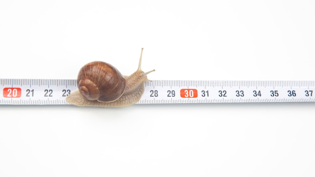Helix pomatia. the snail crawls along the measuring ruler. mollusc and invertebrate. delicacy meat and gourmet food.
