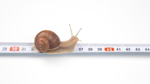 Helix pomatia. the snail crawls along the measuring ruler.