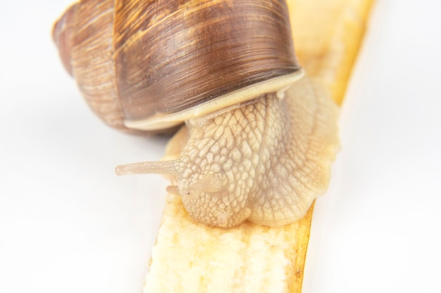 Helix pomatia. snail eats a banana. Premium Photo