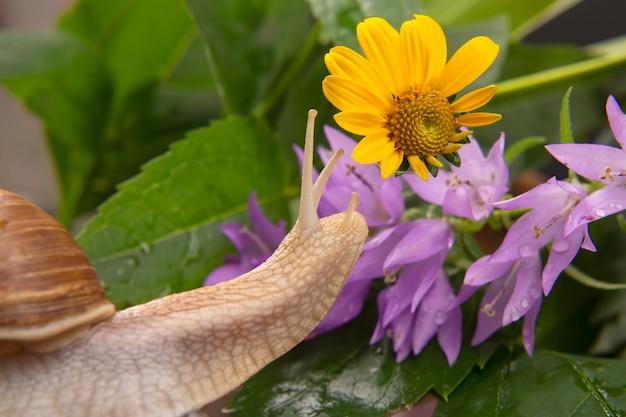헬릭스 포마티아. 달팽이는 자연에서 활발히 기어 다니고 있습니다. 연체동물과 무척추동물. 진미 고기와 미식가 음식.