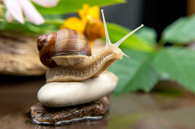 Helix pomatia. snail is actively crawling in nature. mollusc and invertebrate. delicacy meat and gourmet food.