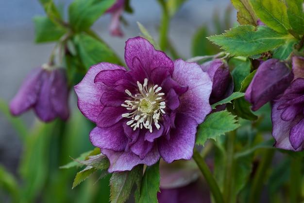 ヘレボルス常緑多年生顕花植物。ヘレボルスダブルハイブリッドレッドプロミス。