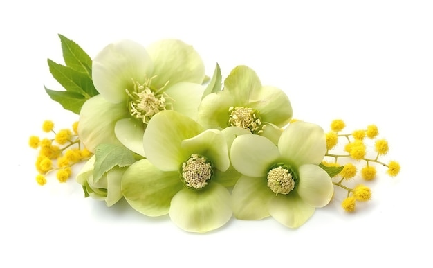Изолированные цветы морозника.